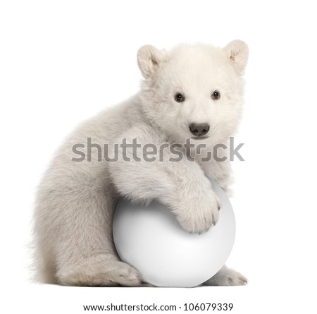 Polar bear cub, Ursus maritimus, 3 months old, with white ball sitting against white background - stock photo