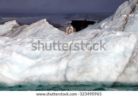 Polar bear eating his prey on iceberg  - stock photo
