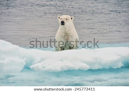 polar bear emerging from water onto ice floe in arctic ocean - stock photo
