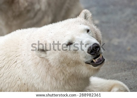 Polar bear head close up