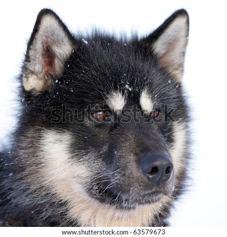 Polar-bear-hunting sled dog on winter pack ice of East Greenland - stock photo