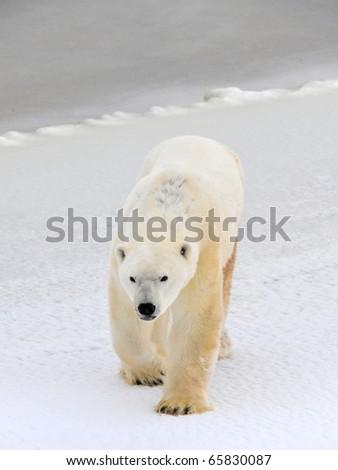 Polar bear in a native habitat. Snow. A frost. Winter. - stock photo