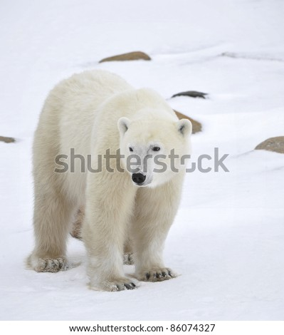 Polar bear in a native habitat. Snow. A frost. Winter. - stock photo