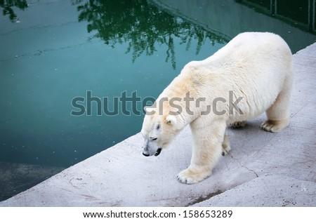 Polar bear in a zoo - stock photo
