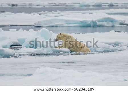 Polar bear in Arctic climbs up on floating ice