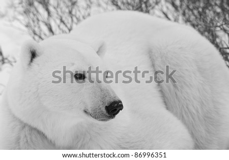 Polar bear in close up portrait . Close up a portrait of a polar bear.  Black and white photo - stock photo