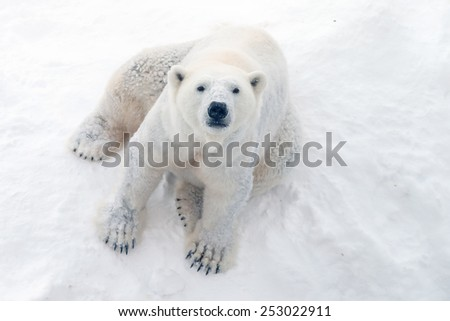 Polar bear in snow - stock photo