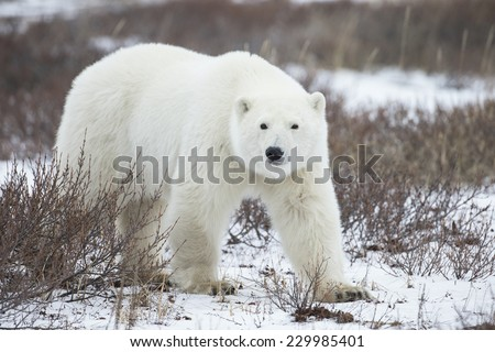 Polar Bear in Sub Arctic near York Factory Manitoba - stock photo