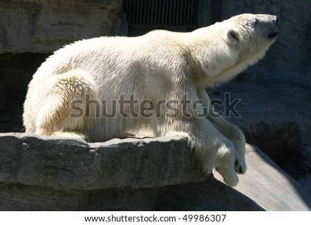 Polar bear in Vienna zoo Schoenbrunn