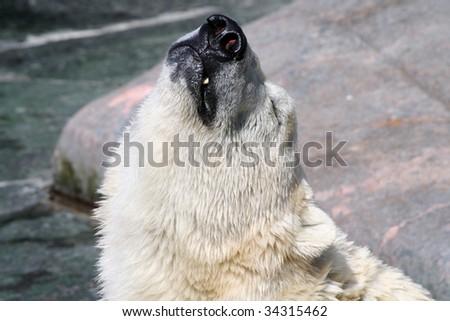 polar bear injoying the sun - stock photo