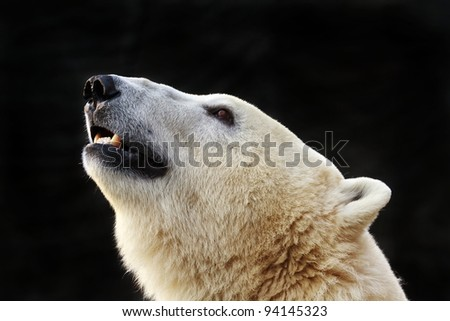 polar bear is sniffing - stock photo