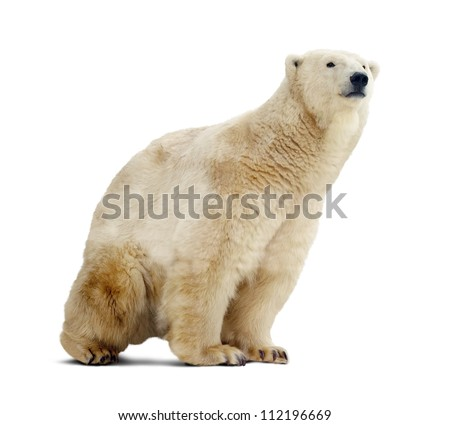 polar bear. Isolated over white background with shade