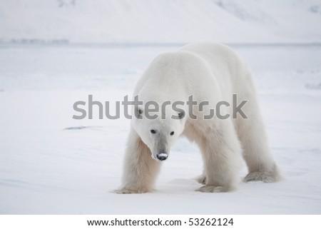 Polar bear, King of the Arctic - stock photo