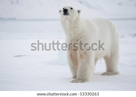 Polar bear, King of the Arctic - stock photo