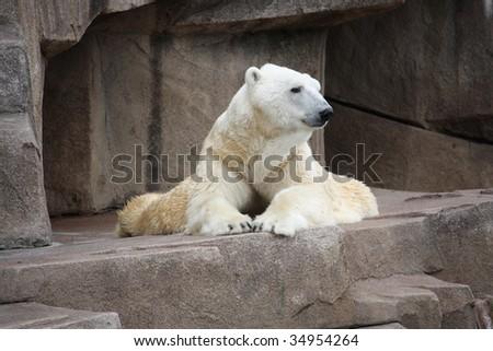 Polar bear laying down on a big rock. - stock photo