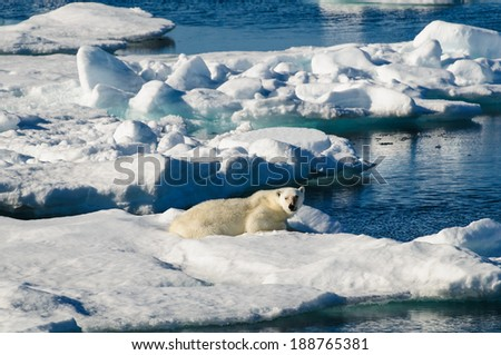 Polar bear laying down on a large ice pack in the Arctic Circle, Barentsoya, Svalbard, Norway - stock photo