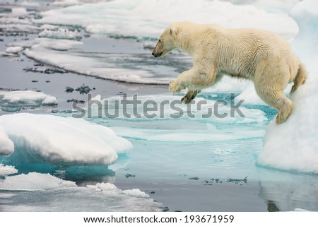 polar bear leaps across ice floes in arctic sea - stock photo