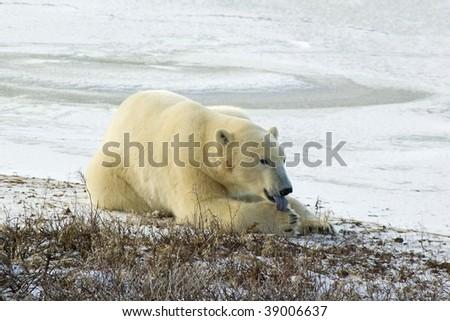 Polar bear licking paw in Canadian Arctic - stock photo