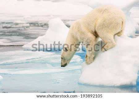 polar bear looking into water from arctic ice floe - stock photo