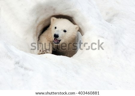 polar bear looks out from a snowy mountain - stock photo