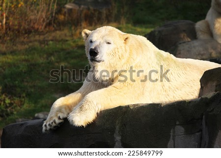Polar bear lying in the sun looking at camera - stock photo