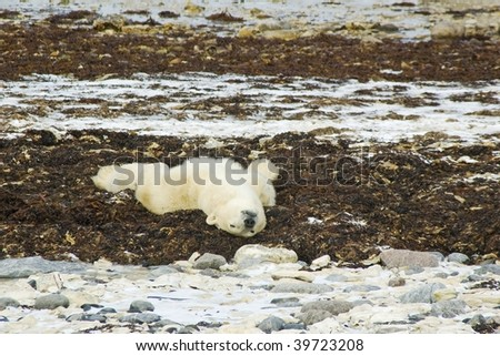Polar Bear lying on his back - stock photo