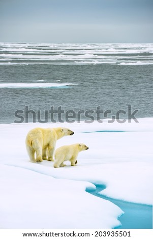 polar bear mother and cub walking on ice floe floating in arctic sea above svalbard norway - stock photo