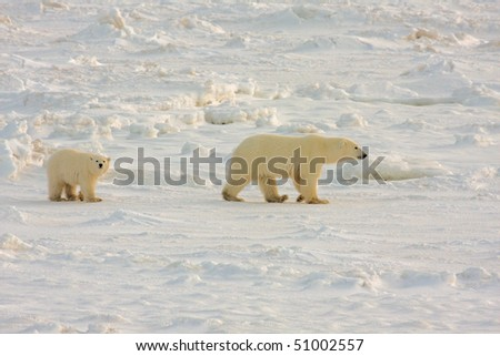Polar bear mother and cub walking on the arctic tundra in search of food - stock photo