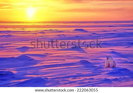 Polar bear on Arctic tundra at sunset - stock photo