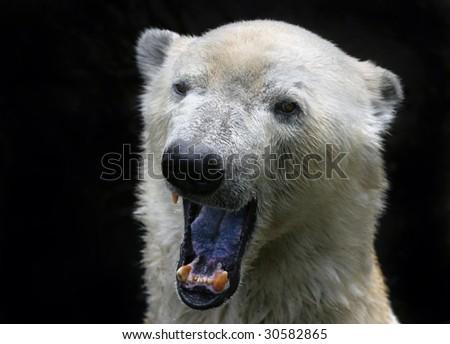 polar bear on black background yawning - stock photo