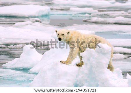 polar bear on ice floe in arctic sea, looking into camera - stock photo