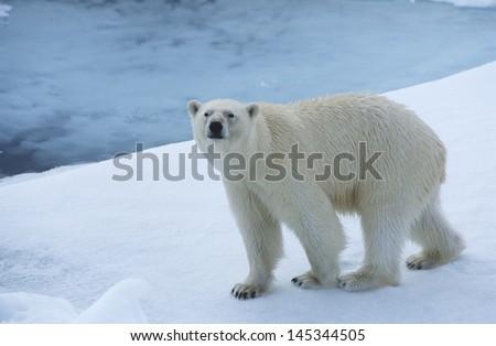 Polar Bear on Ice Yukon - stock photo