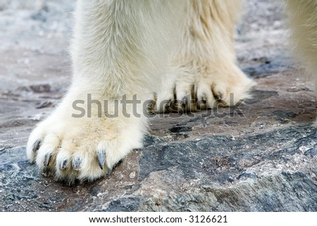 Polar Bear on rocks. Extreme Close-up on paws. It is not Knut... - stock photo