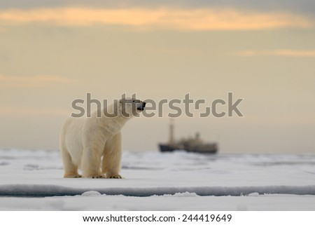 Polar bear on the drift ice with snow, blurred cruise chip in background, Svalbard, Norway - stock photo