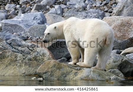 Polar bear on the shore - stock photo