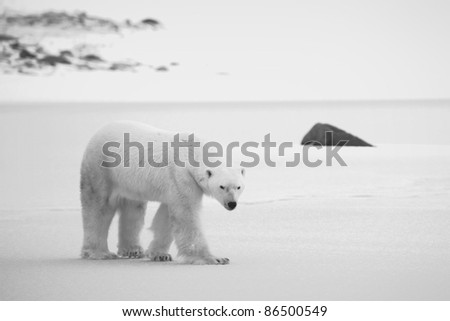 Polar Bear on the snow. Black and white photo. - stock photo