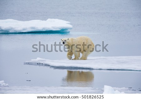 Polar bear pauses on ice floe admiring reflection