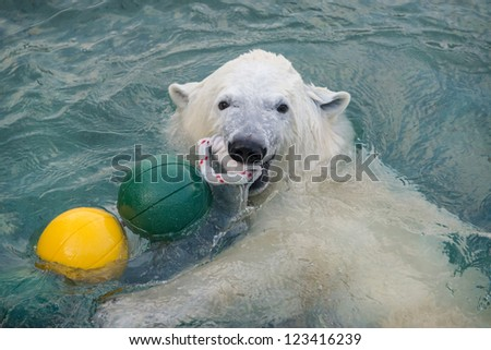 Polar bear plays in the water - stock photo