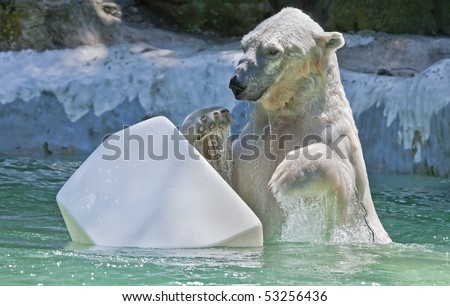Polar bear plays with a plastic piece of ice. - stock photo
