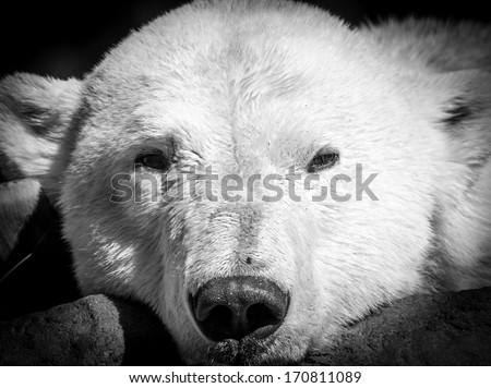 Polar bear portrait - stock photo