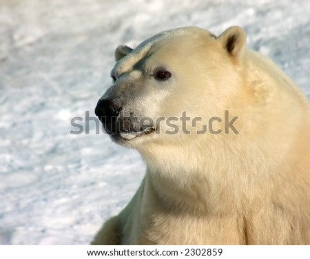 polar bear portrait with snow background - stock photo