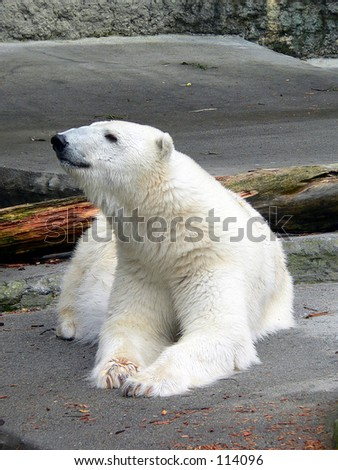 Polar bear resting - stock photo