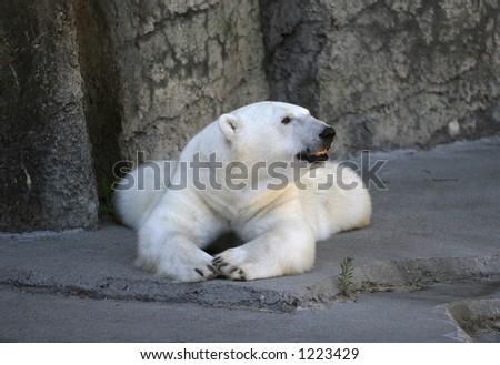 Polar Bear Resting - stock photo