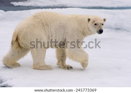 polar bear roaming across ice floe in arctic ocean with head turned toward camera - stock photo