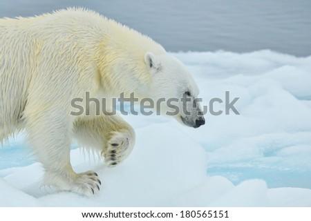 polar bear roaming arctic ice floe - stock photo