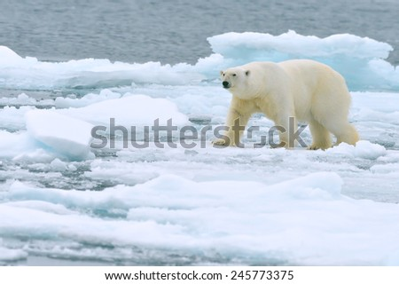 polar bear roaming on arctic ocean ice floe - stock photo