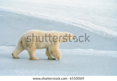 polar bear roams ice pack near churchill canada - stock photo