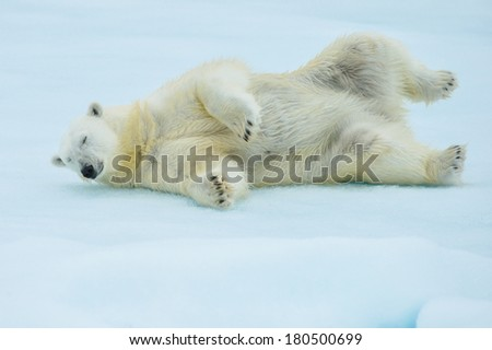 polar bear rolling in arctic snow after a swim - stock photo
