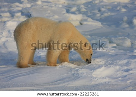 Polar bear searching for food on the arctic snow - stock photo