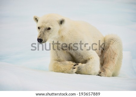 polar bear sitting on ice floe with snow and ice background - stock photo